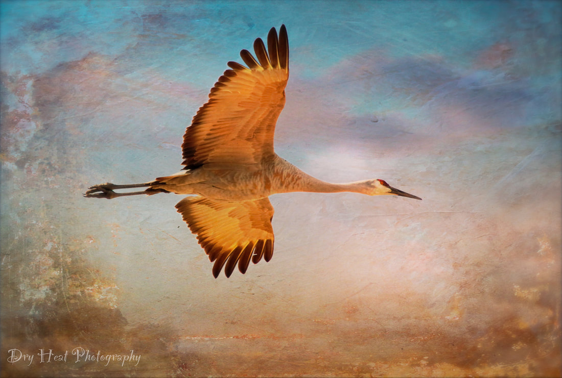 Sandhill Crane at Bosque del Apache in New Mexico.
