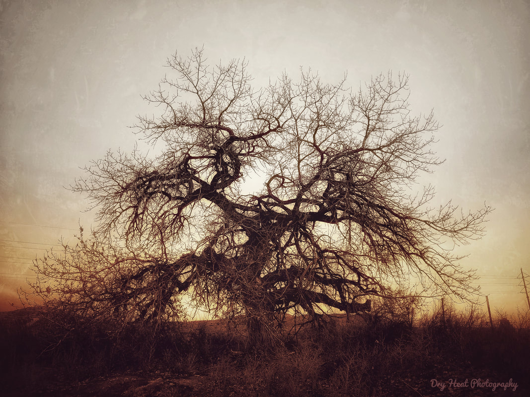 Old Cottonwood Tree in Peralta, New Mexico