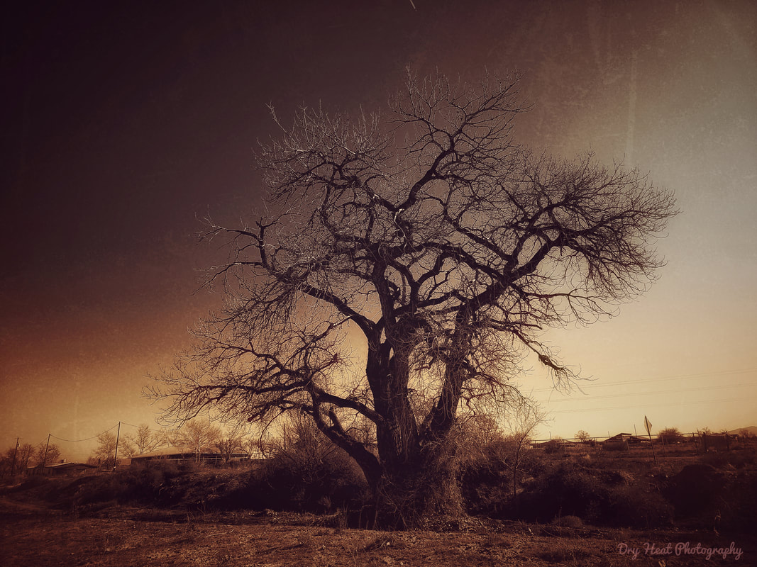 Cottonwood Tree in Peralta, New Mexico.