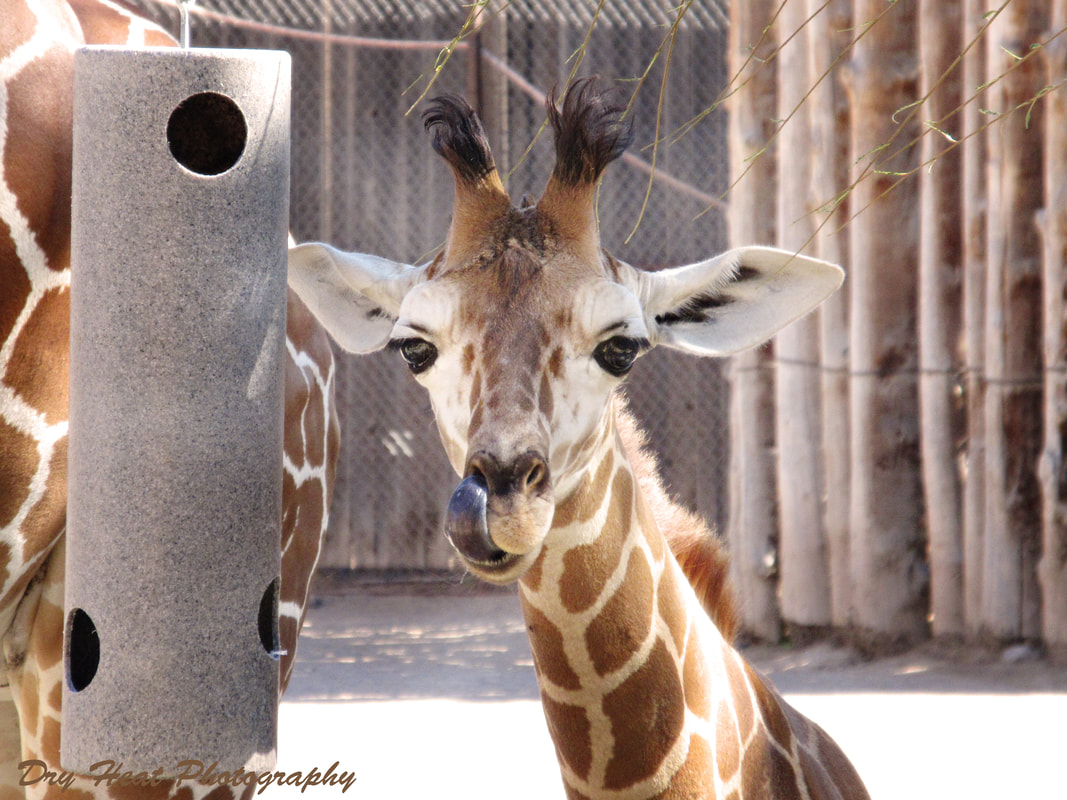 Baby reticulated giraffe at the ABQ BioPark