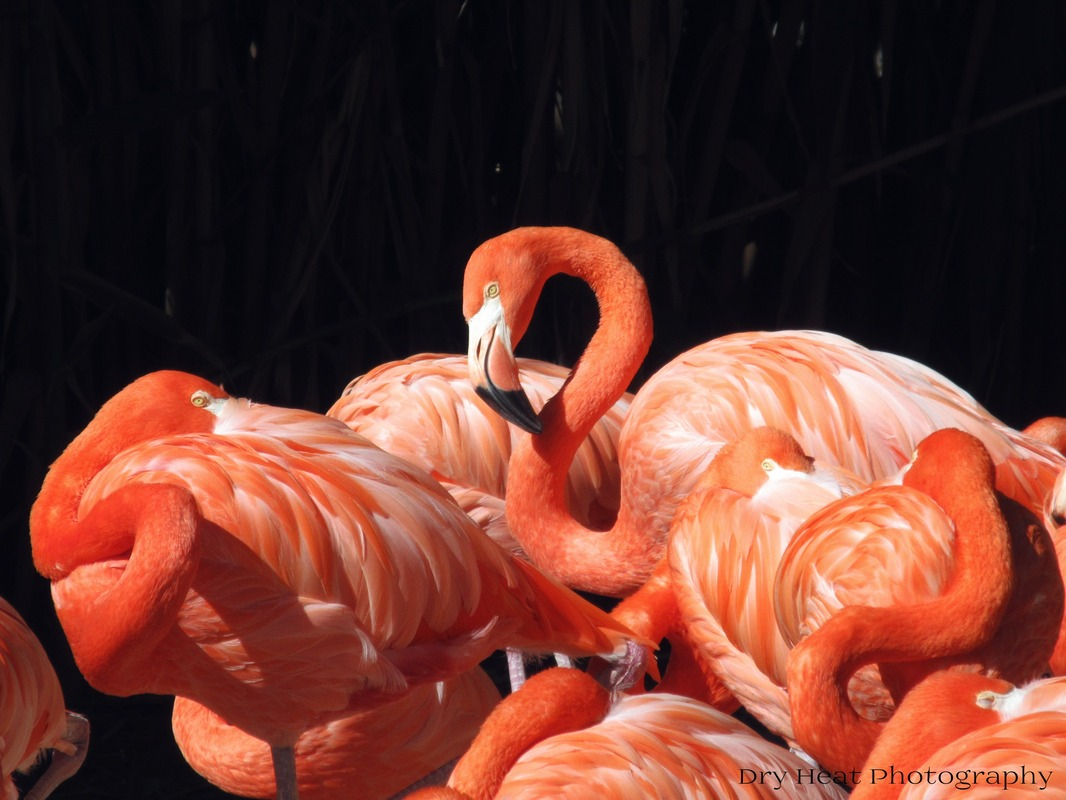 Flamingos at the ABQ BioPark in New Mexico