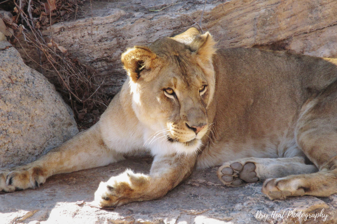 African Lioness at the ABQ BioPark Zoo