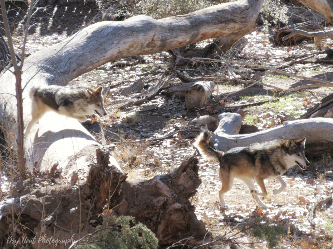 Mexican Wolves at the ABQ BioPark Zoo