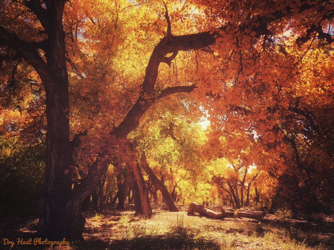 Fall colors in Corrales, New Mexico. DeAnna Vincent