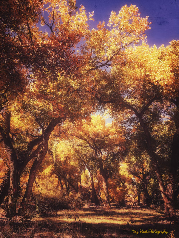 Fall colors in the Corrales Bosque. New Mexico. Dry Heat Photography