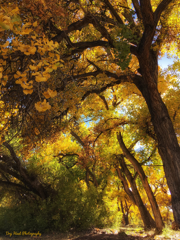 Fall colors in the Rio Grande River Bosque in Corrales, New Mexico. Dry Heat Photography