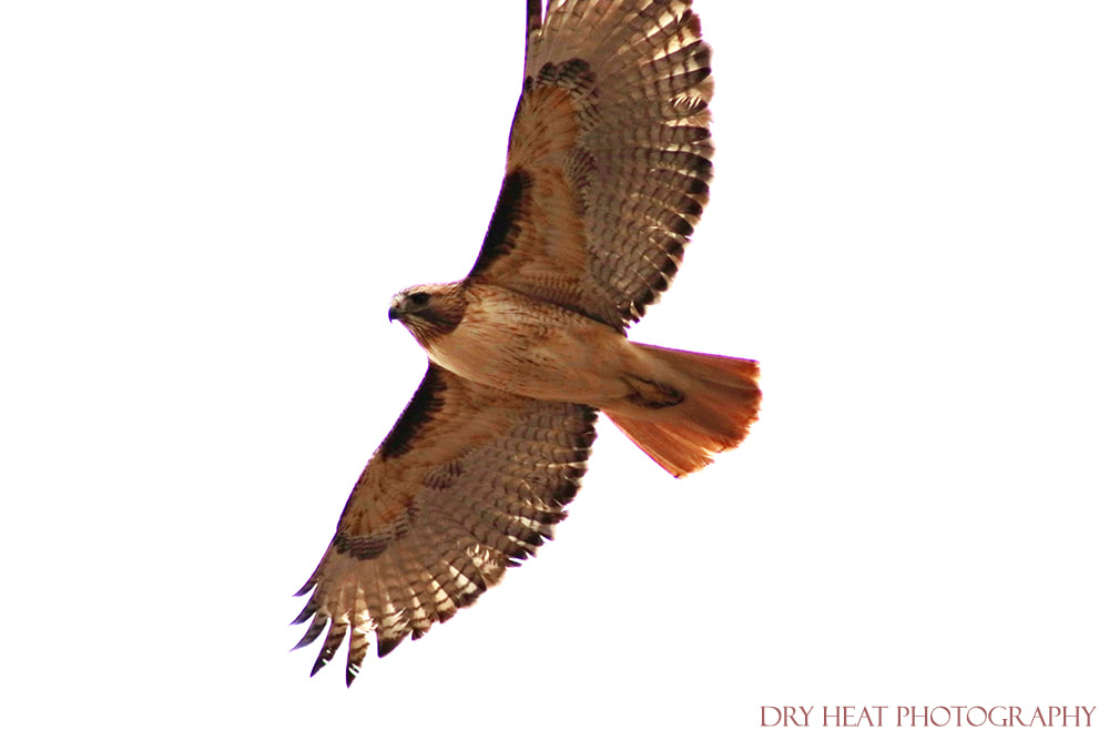 Hawk in flight at Bosque del Apache in New Mexico. Dry Heat Photography