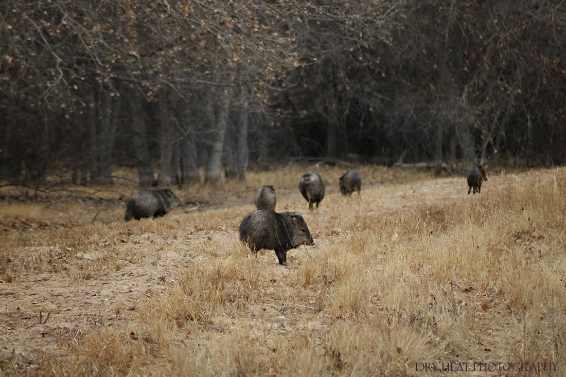 Wild Javelinas at Bosque del Apache in New Mexico. DeAnna Vincent, Dry Heat Photography