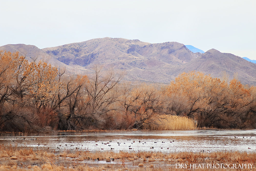 Ducks in the wetlands at Bosque del Apache in New Mexico. Dry Heat Photography