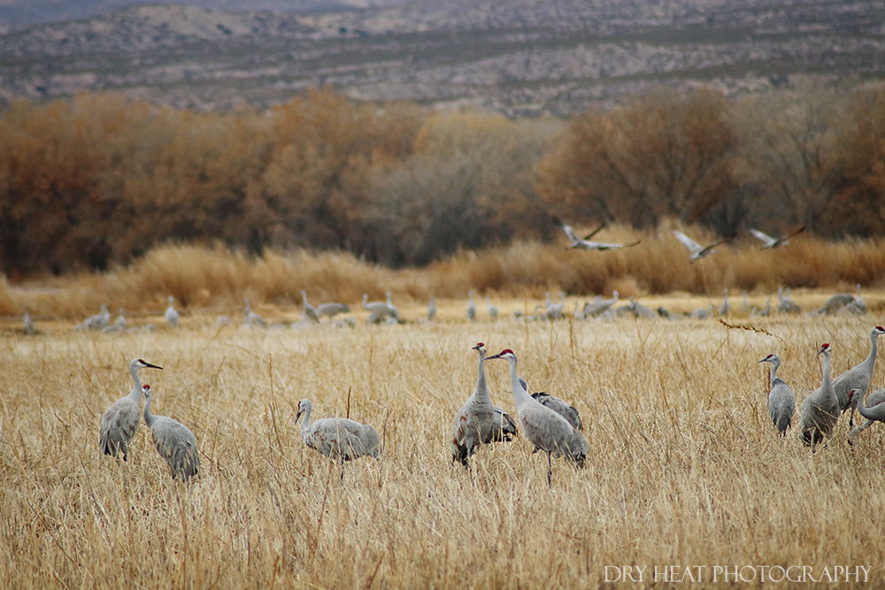 Sandhill Cranes at Bosque del Apache National Wildlife Refuge. Dry Heat Photography