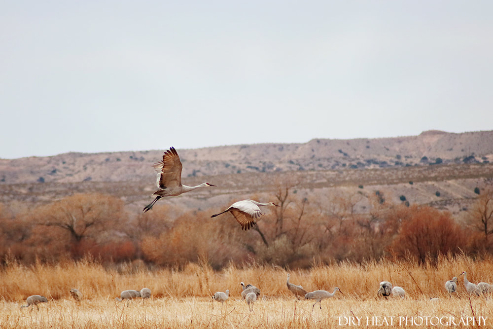 Sandhill Cranes in flight at Bosque del Apache. DeAnna Vincent, Dry Heat Photography