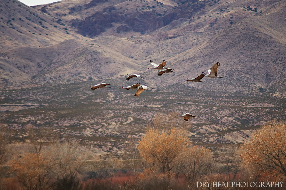 Sandhill Cranes in flight at Bosque del Apache. Dry Heat Photography