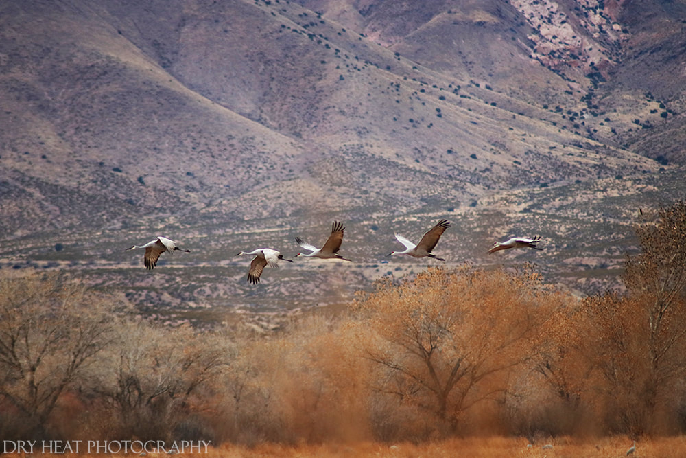 Sandhill Cranes in flight at Bosque del Apache National Wildlife Refuge in New Mexico. DeAnna Vincent, Dry Heat Photography