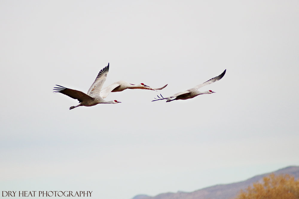 Sandhill Cranes in flight at Bosque del Apache in New Mexico. Dry Heat Photography.