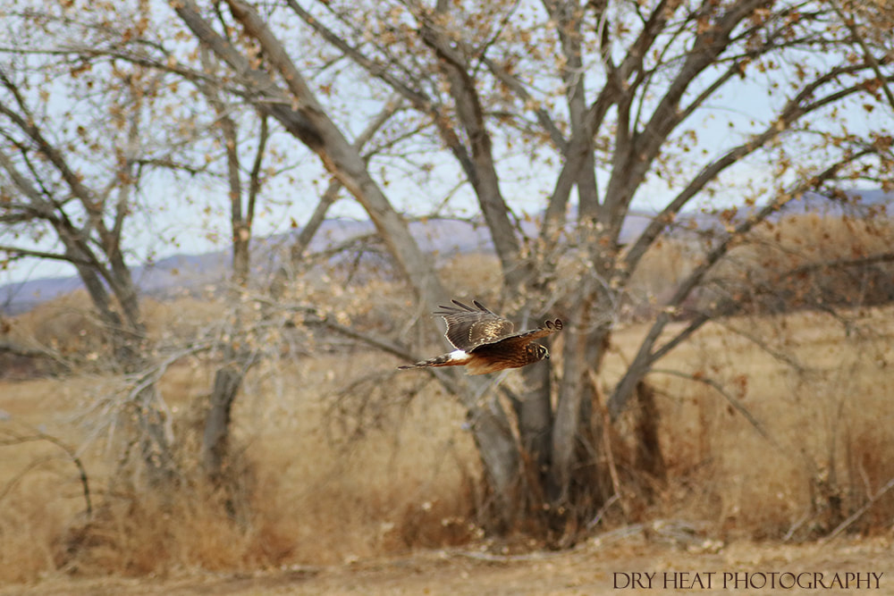 Hawk in flight at Bosque del Apache. Dry Heat Photography