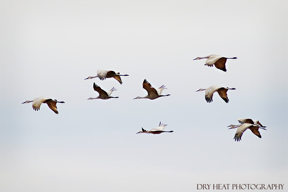 Sandhill Cranes in flight at Bosque del Apache. DeAnna Vincent.