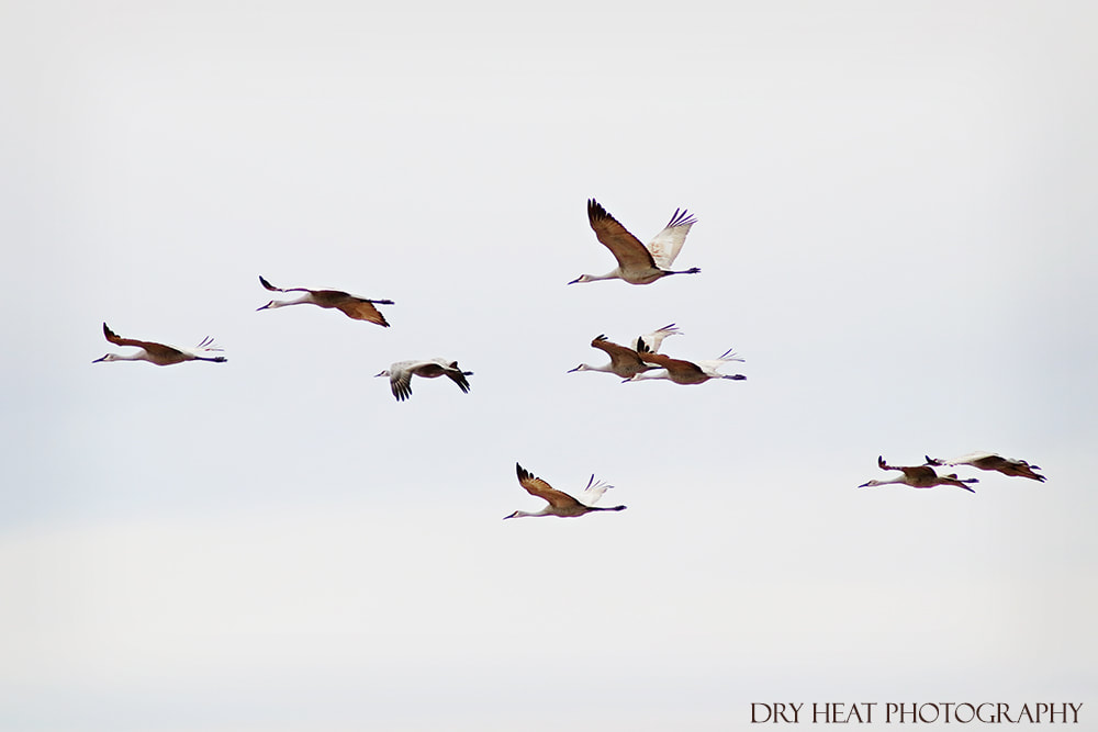 Sandhill Cranes in flight at Bosque del Apache. wildlife photography