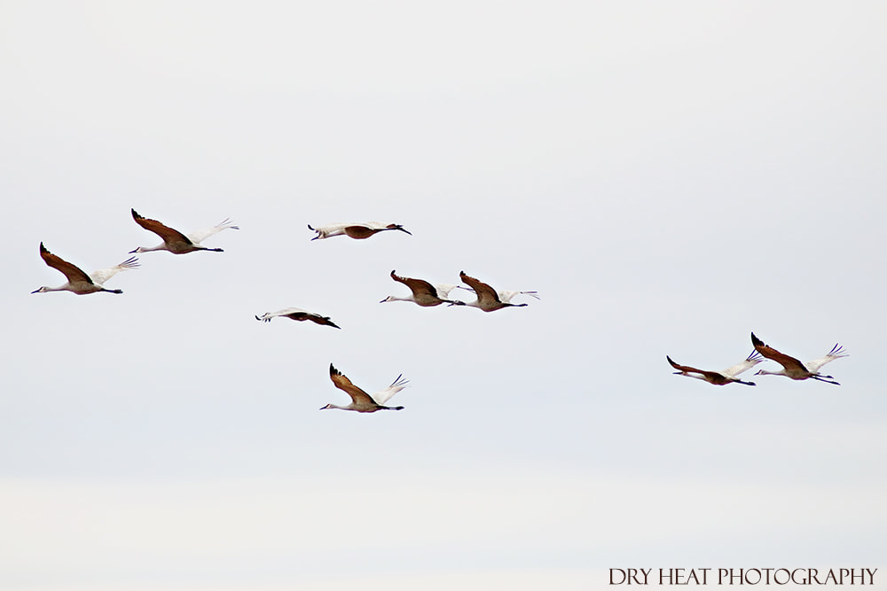 Sandhill Cranes in flight at Bosque del Apache National Wildlife Refuge in New Mexico.