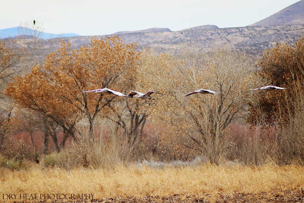 Sandhill Cranes in flight at Bosque del Apache. New Mexico wildlife