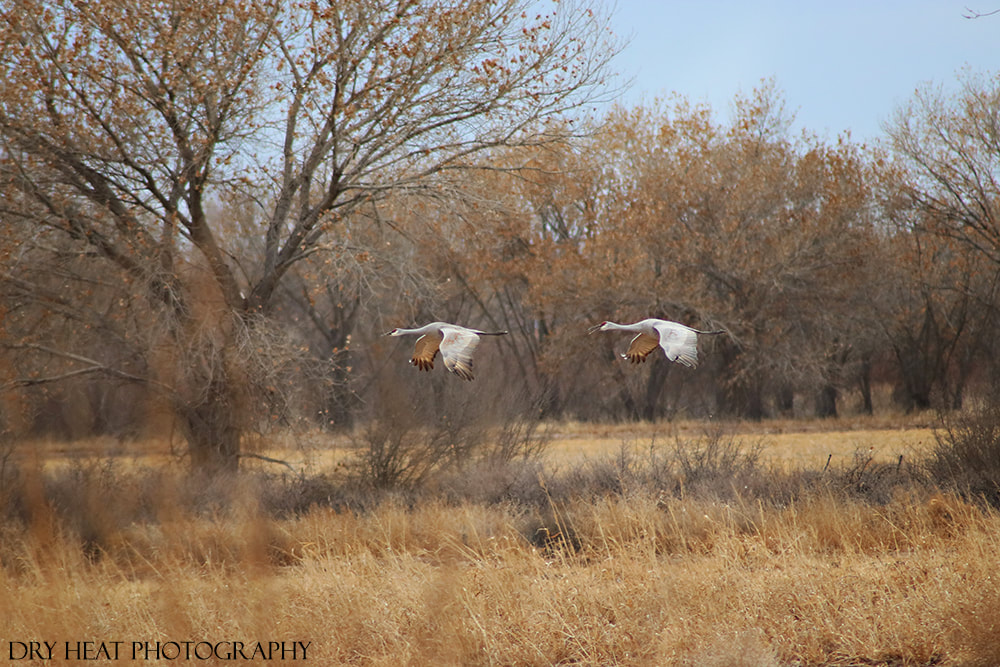 Sandhill Cranes in flight at Bosque del Apache. New Mexico wildlife photography
