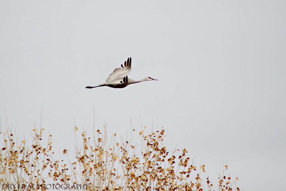 Sandhill Crane in flight at Bosque del Apache.