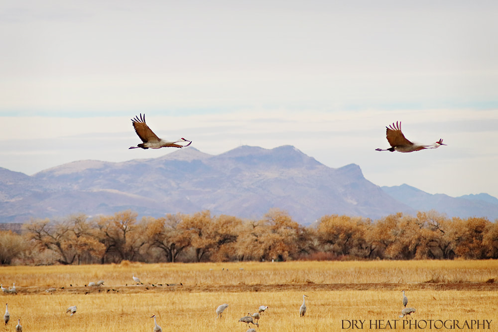 Sandhill Cranes in flight at Bosque del Apache in New Mexico. Dry Heat Photography