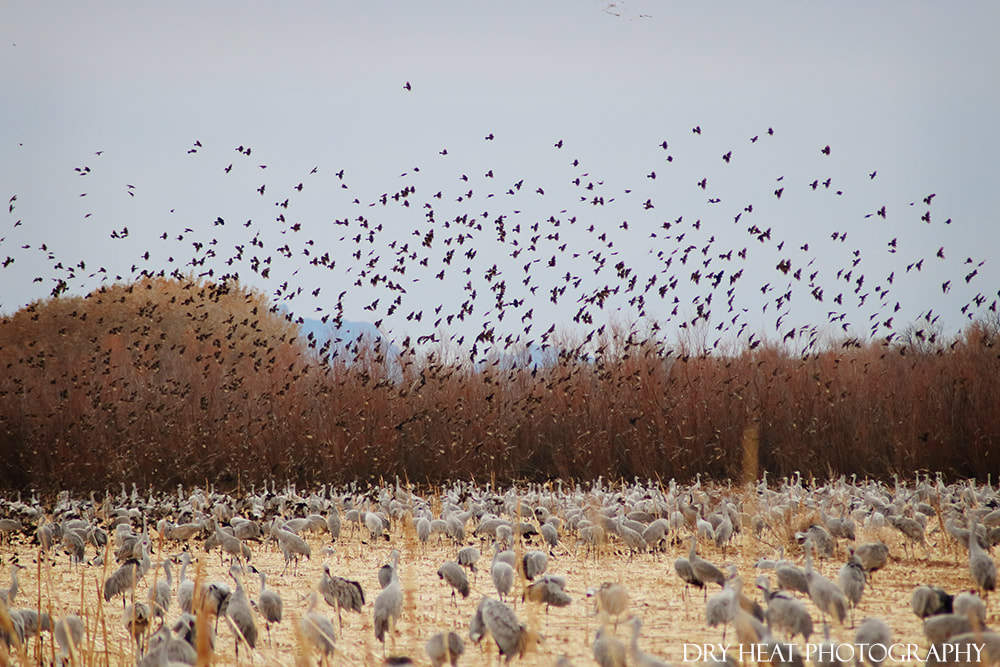 Sandhill Cranes and Crows at Bosque del Apache. Dry Heat Photography