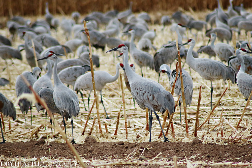 Sandhill Cranes at Bosque del Apache in San Antonio, New Mexico. Dry Heat Photography
