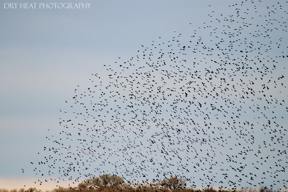 Crows in flight at Bosque del Apache in New Mexico. Dry Heat Photography