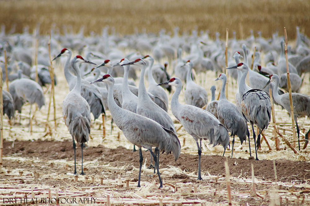 Sandhill Cranes. Dry Heat Photography