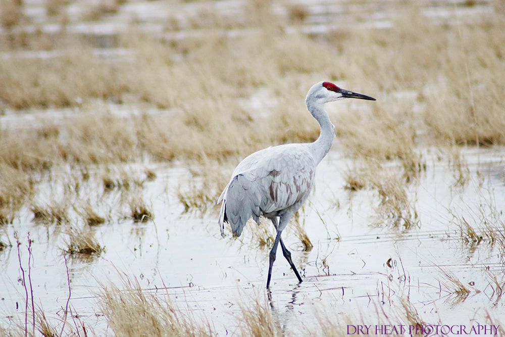 Sandhill Cranes at Bosque del Apache. Dry Heat Photography