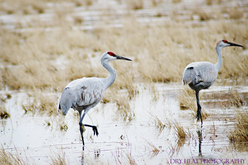 Sandhill Cranes spending the winter at Bosque del Apache. DeAnna Vincent