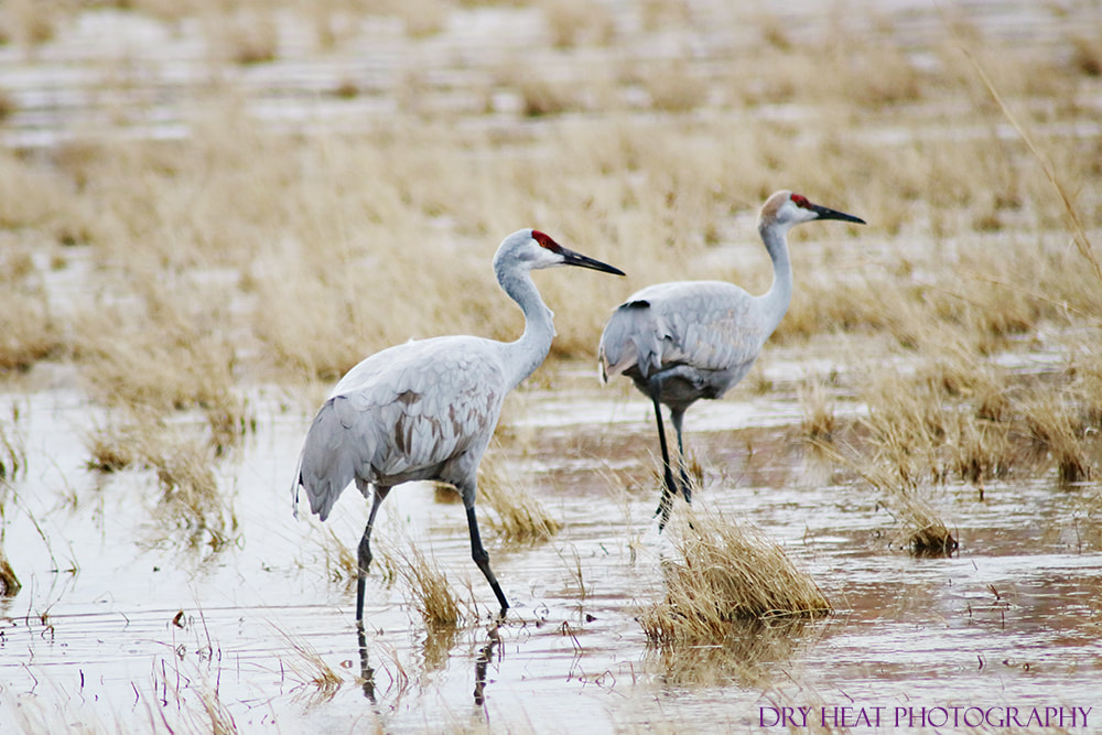 Sandhill Cranes at Bosque del Apache