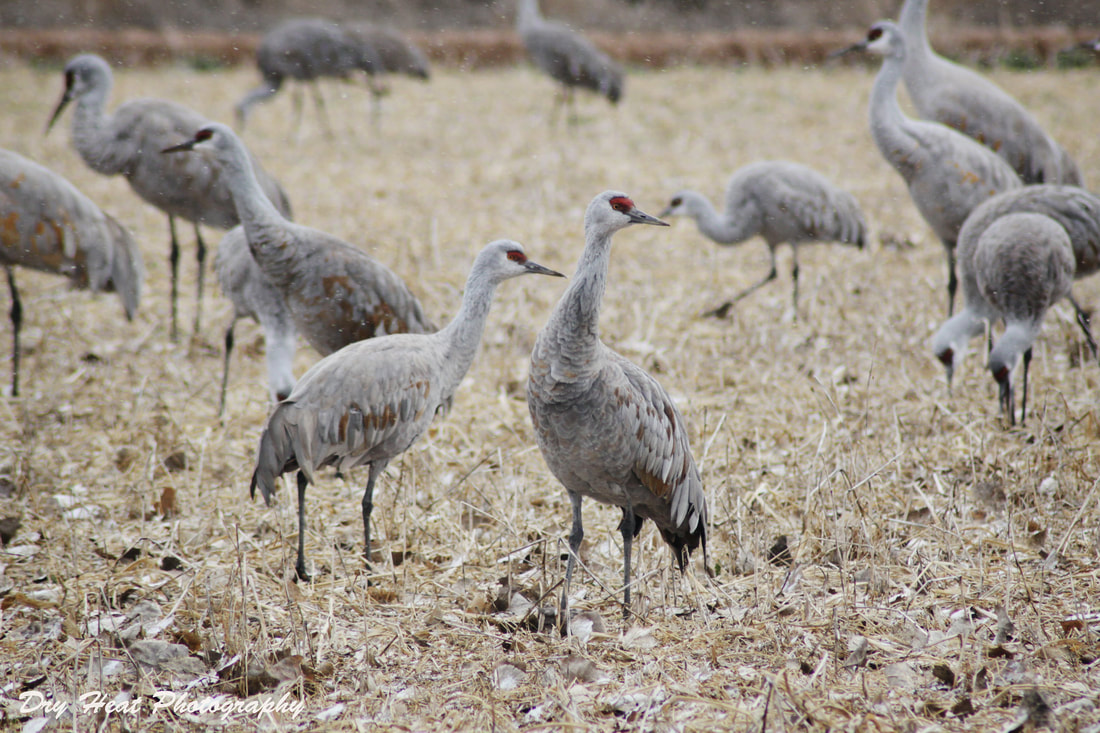 Sandhill Cranes spending the winter in New Mexico.