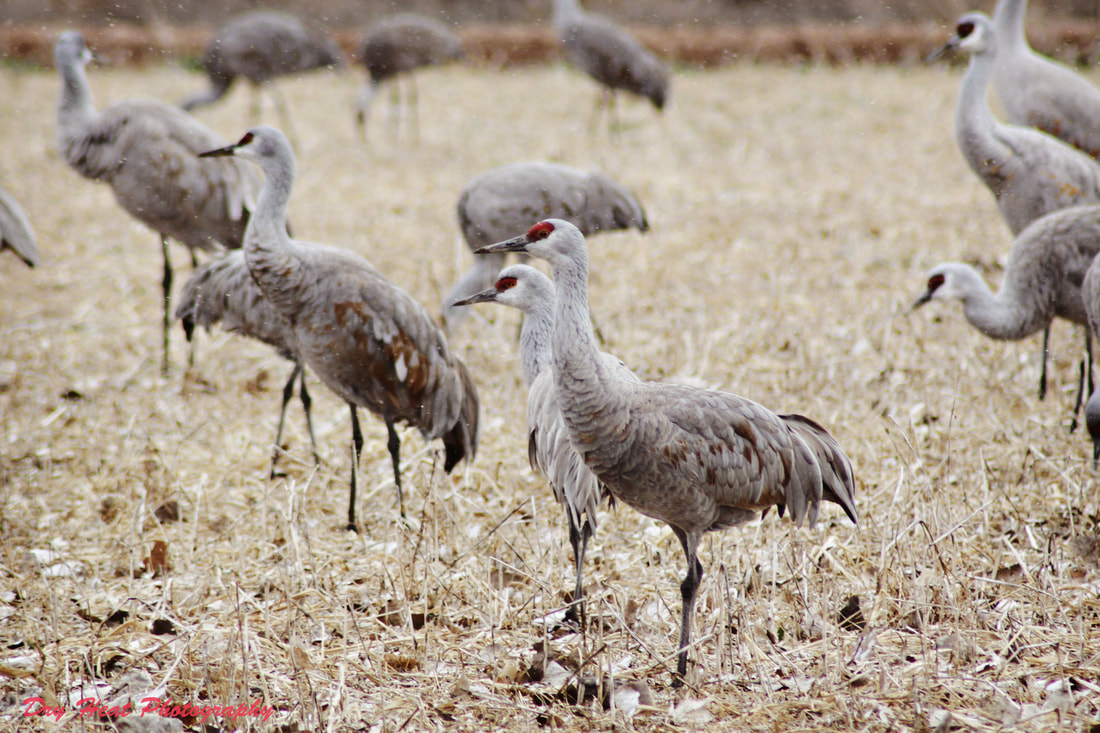 Sandhill Cranes spending the winter in New Mexico