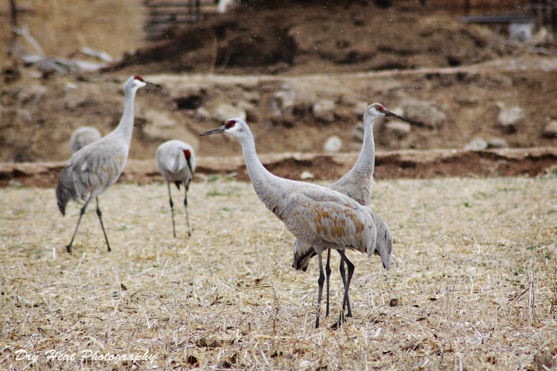 Sandhill Cranes in Los Lunas, New Mexico