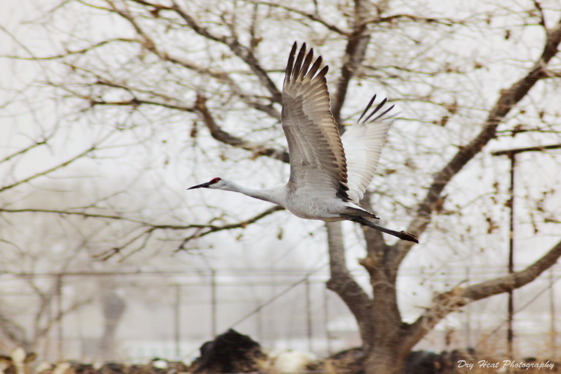 Sandhill Crane in flight in Los Lunas, New Mexico
