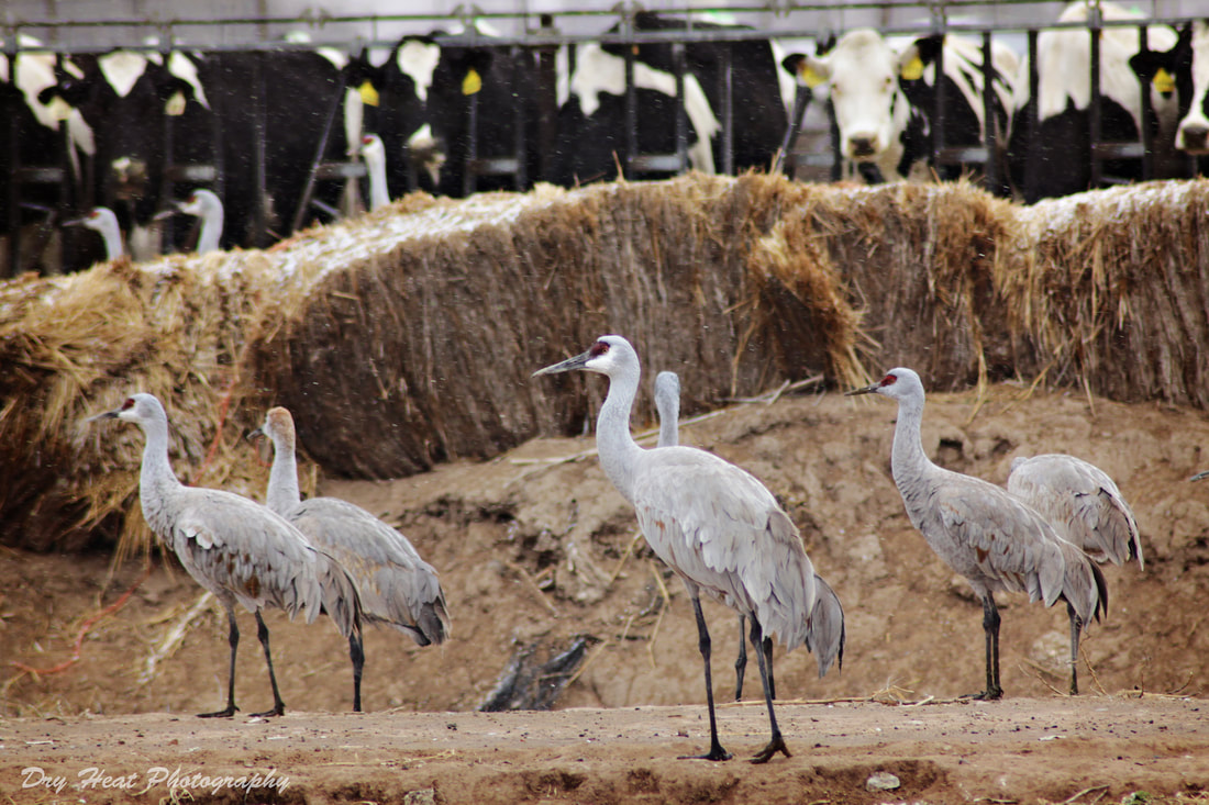 Sandhill Cranes at Edeal Dairy in Los Lunas, New Mexico