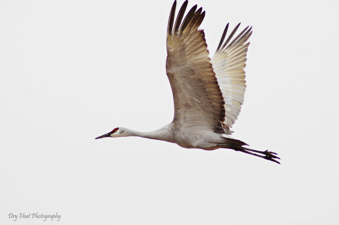 Sandhill Crane in flight in Los Lunas, New Mexico.