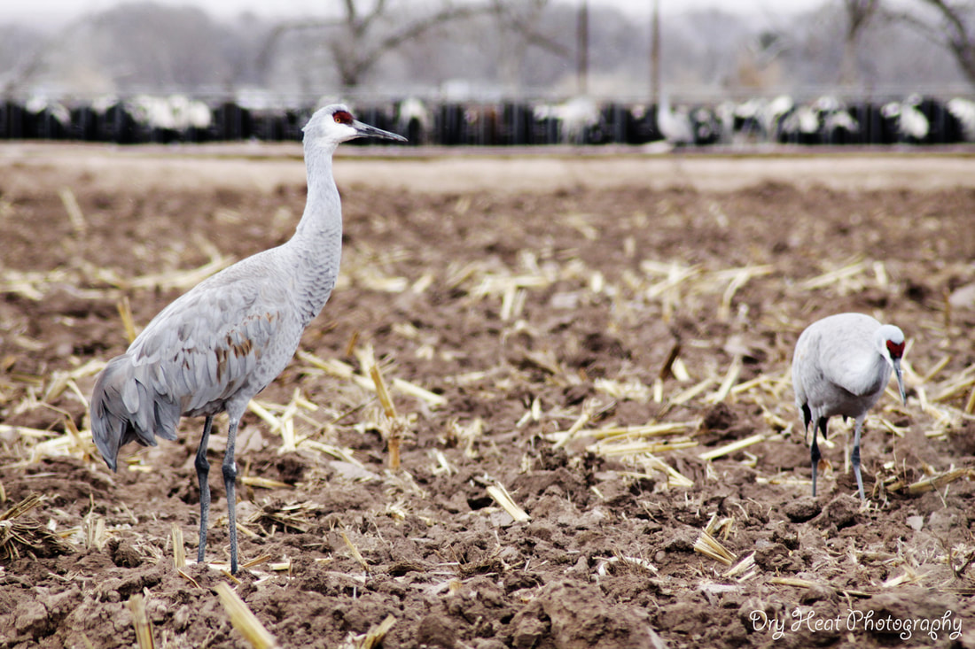 Sandhill Cranes at Edeal Dairy in Los Lunas, New Mexico.