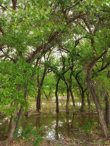 Flooded Rio Grande River and Cottonwood Trees in Los Lunas, New mexico.