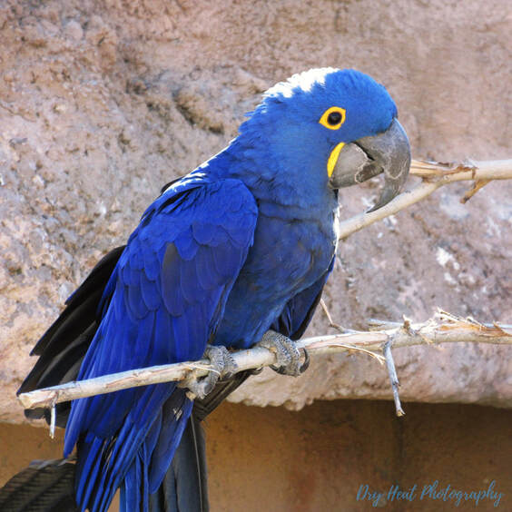 Hyacinth Macaw at the ABQ BioPark in Albuquerque, New Mexico